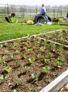 Man-using-wheelchair-planting-seedlings